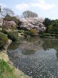 Fiore di ciliegia ed i petali su acqua Fotografie Stock
