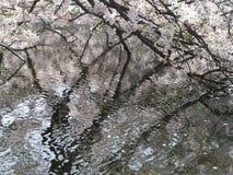 Fiore di ciliegia ed i petali su acqua Fotografia Stock Libera da Diritti