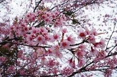 Fiore di ciliegia, fiore rosa di sakura isolato fotografie stock