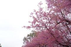 Fiore di ciliegia, fiore rosa di sakura isolato immagini stock libere da diritti