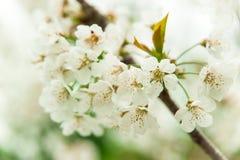 Fiore di ciliegia, fiori della ciliegia, ciliegio immagine stock
