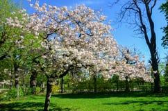 Fiore di ciliegia in gardent Fotografia Stock Libera da Diritti