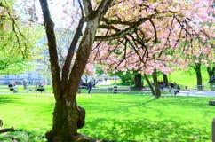 Fiore di ciliegia in gardent Fotografie Stock
