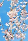 Fiore di ciliegia giapponese Fotografia Stock
