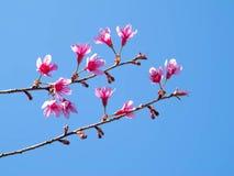 Fiore di ciliegia himalayano selvaggio Immagine Stock Libera da Diritti