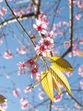Fiore di ciliegia himalayano selvaggio Immagini Stock Libere da Diritti