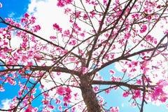Fiore di ciliegia himalayano selvaggio Immagine Stock