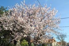 Fiore di sakura ciliegio giapponese illustrazione for Sakura albero