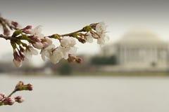 Fiore di ciliegia III Immagine Stock