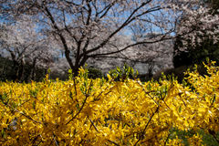 Fiore di ciliegia in MD di Kenwood Fotografie Stock Libere da Diritti