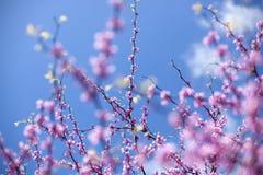 Fiore di ciliegia nella sorgente Immagine Stock