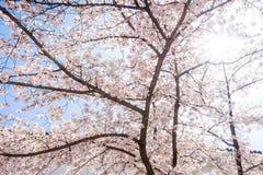 Fiore di ciliegia o fiori di Sakura con luce solare Immagine Stock