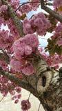 Fiore di ciliegia ornamentale rosa Immagine Stock