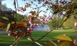Fiore di ciliegia ornamentale rosa di Sakura Fotografie Stock