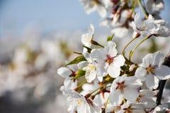 Fiore di ciliegia in parco fotografia stock libera da diritti