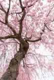 Fiore di ciliegia piangente Fotografia Stock Libera da Diritti