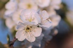 Fiore di ciliegia a primavera Fotografia Stock Libera da Diritti