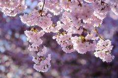 fiore di ciliegia in primavera Immagine Stock Libera da Diritti