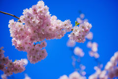 fiore di ciliegia in primavera Fotografie Stock Libere da Diritti