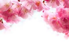 Fiore di ciliegia rosa, fiori di sakura Fotografie Stock Libere da Diritti