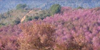Fiore di ciliegia rosa a Phu Lom Lo Fotografia Stock Libera da Diritti