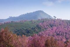 Fiore di ciliegia rosa a Phu Lom Lo Fotografia Stock