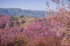 Fiore di ciliegia rosa a Phu Lom Lo Fotografie Stock
