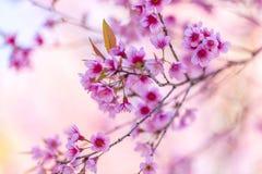 Fiore di ciliegia rosa pieno a khun wang Immagini Stock