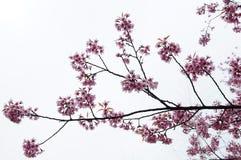 Fiore di ciliegia rosa sopra cielo blu immagine stock libera da diritti