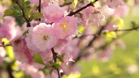 Fiore di ciliegia rosa in vento archivi video