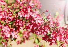 Fiore di ciliegia rosso Immagini Stock Libere da Diritti