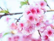 Fiore di ciliegia, Sakura, in natura con il fuoco selettivo Fotografia Stock Libera da Diritti