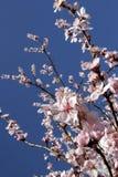 Fiore di ciliegia selvatica Fotografie Stock