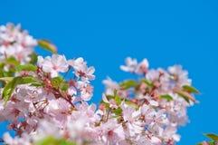 Fiore di ciliegia, serrulata del Prunus, piena fioritura Fotografia Stock