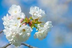 Fiore di ciliegia, serrulata del Prunus, piena fioritura Fotografia Stock Libera da Diritti