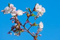 Fiore di ciliegia, serrulata del Prunus, piena fioritura Immagine Stock