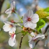Fiore di ciliegia, serrulata del Prunus, piena fioritura Immagini Stock Libere da Diritti