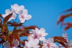 Fiore di ciliegia, serrulata del Prunus, piena fioritura Immagini Stock