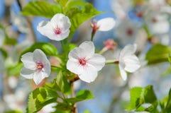 Fiore di ciliegia, serrulata del Prunus, piena fioritura Fotografie Stock