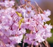 Fiore di ciliegia, serrulata del Prunus, piena fioritura Fotografie Stock Libere da Diritti