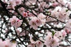 Fiore di ciliegia - sorgente Immagini Stock Libere da Diritti