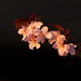 Fiore di ciliegia (subhirtella del Prunus) Fotografia Stock