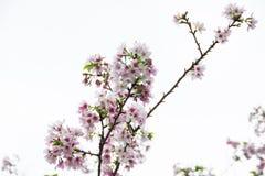 Fiore di ciliegia sul cielo nuvoloso Fotografie Stock