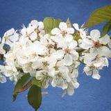 Fiore di ciliegia sul giardino Immagine Stock Libera da Diritti