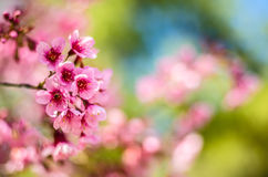 Fiore di ciliegia, Tailandia Immagini Stock