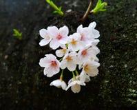 Fiore di ciliegia a Tokyo, Giappone immagini stock