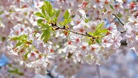 Fiore di ciliegia vicino alla via con le automobili archivi video