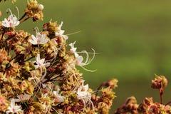 Fiore di Clerodendrum Fotografia Stock Libera da Diritti