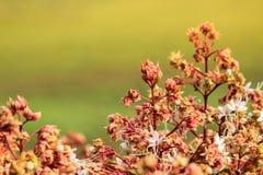 Fiore di Clerodendrum 3 Immagine Stock
