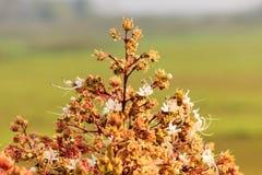 Fiore di Clerodendrum 2 Fotografia Stock
